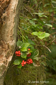 Bunchberry with edible berries growing on side of dead tree.