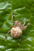 Cross spider or Garden spider on Swiss Chard leaf in a community pea patch garden