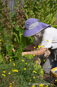 Woman, Linda, harvesting Swiss Chard, from her raised garden bed at a community Pea Patch garden