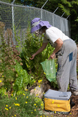 Woman, Linda, harvesting Flashy Trout's Back lettuce, gone to seed, from her raised garden bed at a community pea patch garden