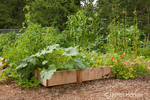 Zucchini, nasturium, corn and other veggies growing at a community pea patch garden