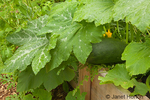 Large zucchini growing in a raised bed garden at a community pea patch garden