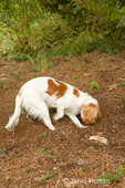 Mandy, a 7 month old Cavalier King Charles Spaniel dog, digging a hole in the dirt in our backyard to bury a bone