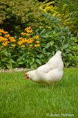 Free-ranging White Plymouth Rock chicken, Zoe, roaming in my backyard