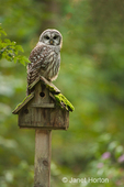 Barred Owl resting on old birdhouse in my backyard