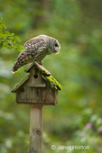 Barred Owl getting ready to take off from old birdhouse in my backyard