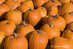 Group of harvested pumpkins for sale at a pumpkin patch