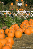 Pumpkin patch and white wood fence