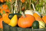 Pumpkins, gourds and squash in barrel, with corn field in the background