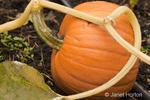 Organic pumpkin growing with drip irrigation in autumn