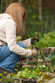 Woman, Barb, pulling weeds and unwanted plants in autumn at a community pea patch garden