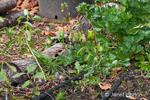 Weeds growing in autumn vegetable garden with last green pepper