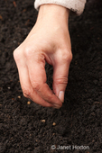 Planting beet seeds in community pea patch garden