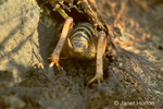 Jerusalem Cricket that was hiding under a rock