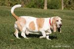 """Basset hound named """"Charlie"""" in a park"""