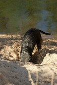 Labrador digging a hole in the sand at the side of a lake, at a park 