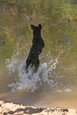 Labrador jumping into a lake chasing a ball, at a park 