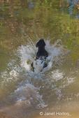 Labrador jumping into a lake chasing a ball, at a park