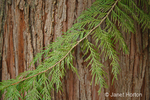 Western Redcedar branch with withes (branchlets) showing the flexible, long, graceful curves