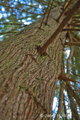 Looking up from the base of a Western Redcedar tree to the top, showing the furrowed reddish brown outer bark
