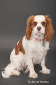 Cavalier King Charles Spaniel, Mandy, at 10 months old