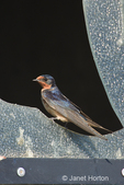 Barn Swallow resting on a broken window to a restroom where several swallows had created nests inside the restroom.