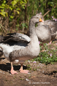 Female Pilgrim Geese at liberty on farm