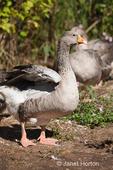Female Pilgrim Geese at liberty on farm
