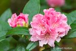 Pink Rhododendron arboretum hybrid
