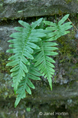 Leather-leaf or Leathery Polypody Fern (Polypodium scouleri) growing out of crevice in a moss-covered rock wall