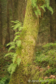Licorice Ferns growing out of side of moss-covered tree in a rainforest in