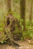 Tree stump acting as a nursery stump for the growth of a new tree on top of it in a rainforest.  Licorice Ferns are growing out of the stump and Western Swordferns are growing on the ground.
