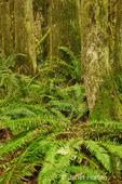 Western Swordferns in a rainforest