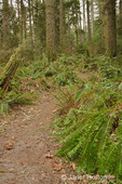 Western Swordferns along a path in a rainforest