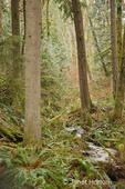Western Swordferns next to a small creek in a rainforest