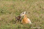 Thompson's Gazelle mom and newborn baby's wobbly first steps
