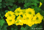 Bermuda Buttercup (wildflowers