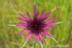 Salsify or Oyster wildflower
