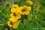 Johnny-jump-ups or California Golden Violet wildflowers