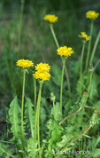 Common Dandelion wildflower / weed