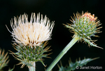 Peregrine Thistle wildflower