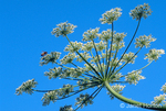 Cow Parsnip wildflower close-up with bee