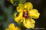 Moth Mullein (wildflower and bee close-up