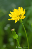 Western Hawksbeard wildflowers 