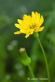 Western Hawksbeard wildflowers