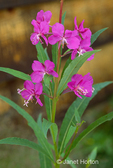 Common Fireweed wildflowers close-up