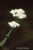 Common Yarrow or Plumajillo or Milfoil wildflowers with Augochlora Green Metallic Bee or Halictid Bee