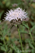 Coyote Mint wildflower