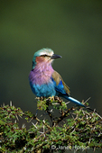 Lilac-Breasted Roller sitting in thorny bush in Lake Nakuru National Park, Kenya