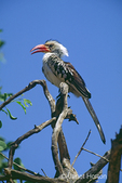 Red-billed Hornbill sitting on dead tree